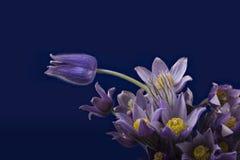 Pasqueflower op donkerblauwe achtergrond Stock Afbeelding