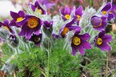 Pasqueflower oriental Imagens de Stock Royalty Free