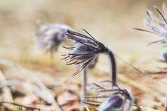 Pasqueflower oriental, açafrão da pradaria, anêmona do cutleaf Fotografia de Stock Royalty Free