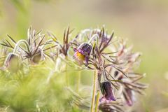 Pasqueflower oriental, açafrão da pradaria, anêmona do cutleaf com água Foto de Stock