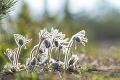 Pasqueflower oriental, açafrão da pradaria, anêmona do cutleaf com água Imagens de Stock