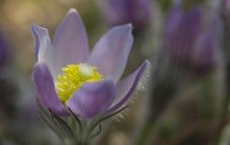 Pasqueflower ou lírio oriental da rocha Fotos de Stock Royalty Free