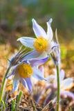 Pasqueflower, patens de la anémona, patens del lla de Pulsat, flor en el primer de la primavera Imagenes de archivo