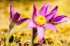 Pasqueflower, patens de la anémona, patens del lla de Pulsat, flor en un fondo natural Imagen de archivo