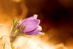 Pasqueflower precioso fotografía de archivo