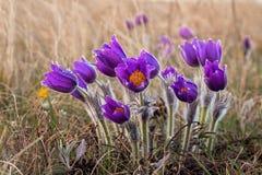 Pasqueflower ( Pulsatilla pratensis) Pratensis do Pulsatilla flores violetas com gotas da água foto de stock