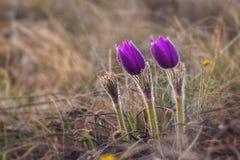 Pasqueflower &-x28; Pulsatilla pratensis&-x29; Pulsatilla pratensis fiołek kwitnie z wodnymi kroplami zdjęcie royalty free