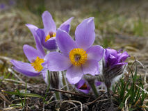 Pasqueflower Royalty Free Stock Photos