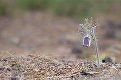 Pasqueflower só na flor adiantada Imagens de Stock