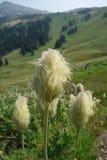 Pasqueflower Seedhead dans le bâti Rainier National Park Images stock