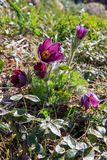 Pasqueflower, spring blooming flower, colorful plant macro, dream grass, violet blue first spring flowers, outdoor. First spring blooming flower, purple plant Royalty Free Stock Image