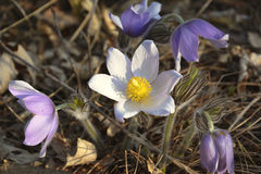 Pasqueflower . Spring forest flowers. Stock Photography