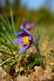 Pasqueflower Stock Image