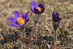 Pasqueflower (vulgaris pulsatilla) royalty-vrije stock afbeeldingen