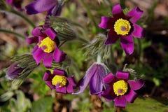 Pasqueflowers immagine stock libera da diritti