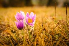 Pasqueflowers i vår Royaltyfria Foton