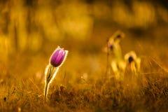 Pasqueflowers i vår Royaltyfri Fotografi