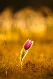 Pasqueflowers i vår Royaltyfria Bilder