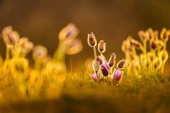 Pasqueflowers i vår Fotografering för Bildbyråer