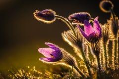 Pasqueflowers i vår Arkivbild