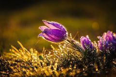 Pasqueflowers i vår Arkivfoto