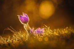 Pasqueflowers i vår Arkivfoton