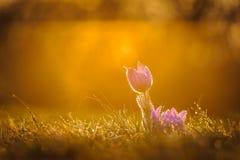 Pasqueflowers i vår Royaltyfri Foto