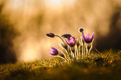 Pasqueflowers In Spring Royalty Free Stock Photography