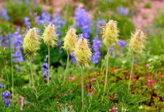 Pasqueflowers and  lupine in Mount Rainier National Park Stock Images