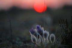 Pasqueflowers posto em perigo raro no por do sol fotografia de stock