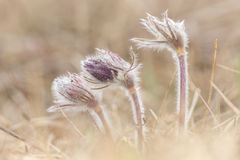 Pasqueflowers Royalty Free Stock Photography