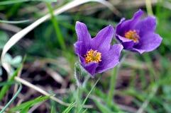 Pasqueflowers (Pulsatilla vulgaris) in flower. In Cambridgeshire, England Stock Image