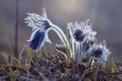 Pasqueflowers tycker om varm och tidig vårskymning Royaltyfri Foto