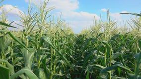 Pass along the corn field stock video