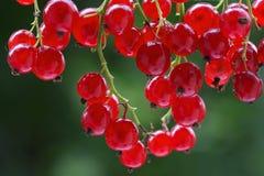 Passa de Corinto vermelha fresca em um arbusto Imagem de Stock Royalty Free