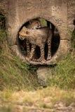 Passado outro dos apertos do filhote da chita na tubulação fotografia de stock royalty free
