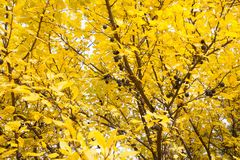 Passados ameixas na árvore Fotografia de Stock