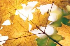 Passage chaud de rayons de soleil par les feuilles jaunes d'érable Beau fond d'automne Vue abstraite vibrante de forêt de chute Photographie stock