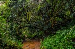 Passage couvert à feuilles caduques et indigène vert reculé de forêt aux chutes solitaires de crique en Sabie Mpumalanga South Af images stock