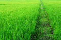 Passage couvert dans la rizière Images stock
