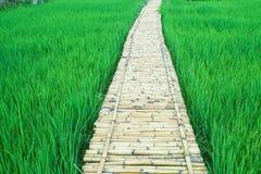 Passage couvert en bambou avec le gisement vert frais de riz Photos stock