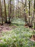 passage couvert par le ressort BRITANNIQUE en bois de forêt avec l'élevage de jacinthes des bois Photos stock