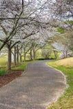 Passage couvert sous Cherry Trees de floraison Photographie stock libre de droits