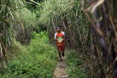 Passage de coureur par des plantations de canne à sucre Image stock