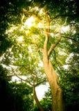Passage de lumière de Sun par la feuille verte Images stock