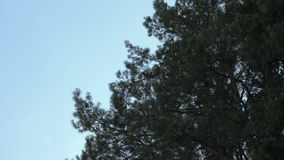 Green pine tree at blue sky background. Passage through the forest. Branches of pine trees against the sky. Low angle. Passage through the forest. Branches of stock video footage
