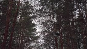 Passage through the forest. Branches of pine trees against the sky. Low angle. Outdoor stock video footage