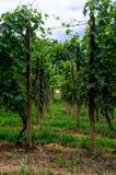 Passage par les vignobles Image libre de droits