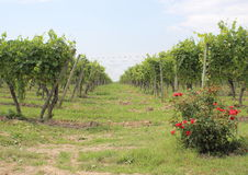 Passage between rows of wine stock at vineyard with roses Stock Images