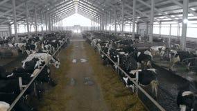 Passage tussen twee rijen van vee in een byre stock footage